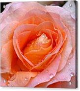 Rosy Rose Acrylic Print