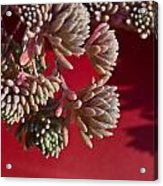 Rosy Sedum 5 Acrylic Print