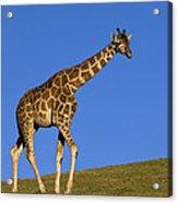 Rothschild Giraffe  Acrylic Print