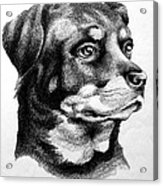 Rottweiler Devotion Acrylic Print by Patricia Howitt