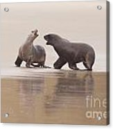 Rough Courtship Of Male And Female Hookers Sealions Acrylic Print