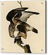 Rough-legged Falcon Acrylic Print