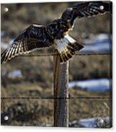 Rough-legged Hawk   #1865 Acrylic Print