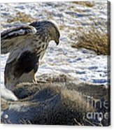 Rough-legged Hawk On A Mule Deer Kill Acrylic Print