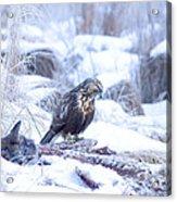 Rough Legged Hawk On Deer Carcass Acrylic Print