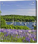 Round Pond Lupine Flowers On The Coast Of Maine Acrylic Print