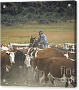 Cattle Round Up Patagonia Acrylic Print