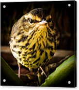 Round Warbler Acrylic Print