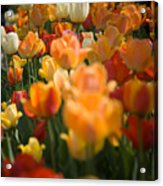 Row Of Colorful Tulips Acrylic Print