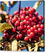 Rowan Berries Acrylic Print