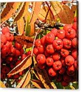 Rowan Berry Acrylic Print