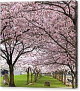 Rows Of Cherry Blossom Trees In Bloom Acrylic Print