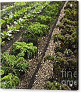 Rows Of Kale Acrylic Print