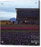 Rows Of Multi Colored Tulips In Field With Old Barn And Yellow B Acrylic Print