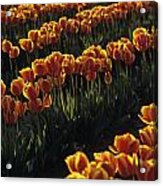 Rows Of Orange Tulips In Field Mount Vernon Washington State Usa Acrylic Print