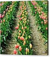 Rows Of Pink Acrylic Print