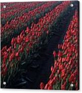 Rows Of Red Tulips Acrylic Print