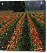 Rows Of Tulips Acrylic Print