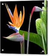 Royal Beauty II - Bird Of Paradise Acrylic Print by Ben and Raisa Gertsberg