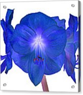 Royal Blue Amaryllis On White Acrylic Print