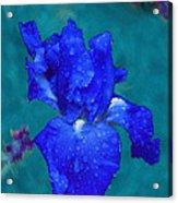 Royal Blue Iris Acrylic Print