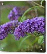 Royal Butterfly Bush Acrylic Print