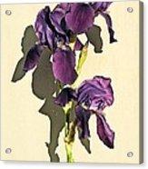Royal Purple Iris Still Life Acrylic Print