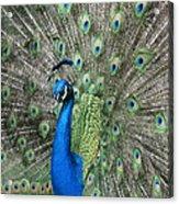 Royal Peacock Display Acrylic Print