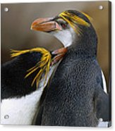 Royal Penguin Couple Courting Acrylic Print