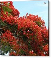 Royal Poinciana Branch Acrylic Print