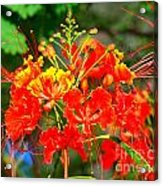 Royal Poinciana Acrylic Print