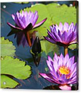 Royal Purple Water Lilies Acrylic Print