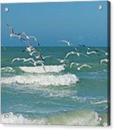 Royal Tern Frenzy Acrylic Print by Kim Hojnacki