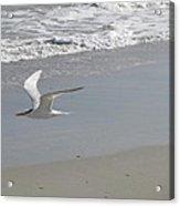 Royal Tern In Flight Acrylic Print