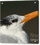 Royal Tern Acrylic Print