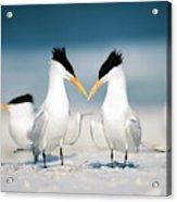 Royal Terns Acrylic Print