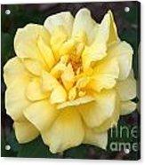 Royal Yellow Delight Rose... Acrylic Print