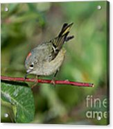 Ruby-crowned Kinglet Showing Crown Acrylic Print
