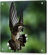 Ruby Throat Humming Bird Acrylic Print
