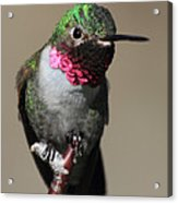 Ruby-throated Hummer Acrylic Print