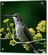 Ruby Throated Hummingbird 1 Acrylic Print