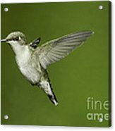 Ruby-throated Hummingbird At Flower Acrylic Print