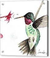 Ruby Throated Hummingbird Acrylic Print by Brenda Ruark