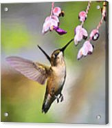 Ruby-throated Hummingbird - Digital Art Acrylic Print