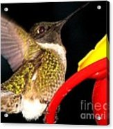 Ruby-throated Hummingbird Landing On Feeder Acrylic Print