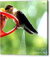 Ruby-throated Hummingbird Pooping Acrylic Print