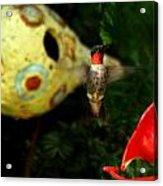 Ruby- Throated Hummingbird Acrylic Print
