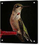 Ruby Tuesday Acrylic Print by Steve Johnston