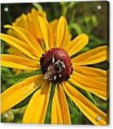 Rudbeckia Bee Acrylic Print