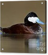 Ruddy Duck On Still Pond Acrylic Print